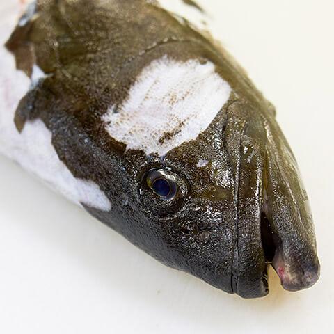 幻の高級魚「クエ」